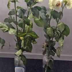Test roses blanches eau minérale pure Velleminfroy