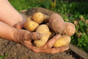 Dans le jardin bio de Velleminfroy, on récolte notamment des pommes de terre.